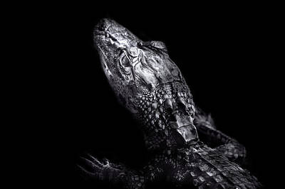 Photograph - Alligator Baby by Mark Andrew Thomas