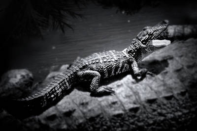 Black And White Photograph - Alligator Baby With Mom by Mark Andrew Thomas
