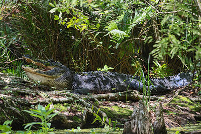 Photograph - Alligator Basking by Christopher L Thomley