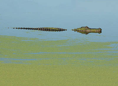 Photograph - Alligator  by Carolyn Dalessandro