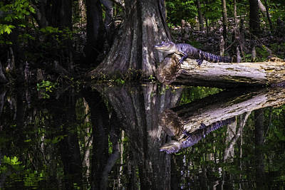 Photograph - Alligators The Hunt, New Orleans, Louisiana by Printed Pixels