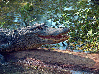Photograph - Alligator Close Up In A Louisiana Swamp by Mary Capriole