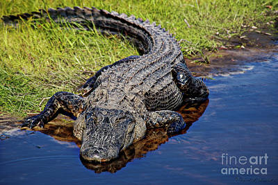 Photograph - Alligator by David Arment