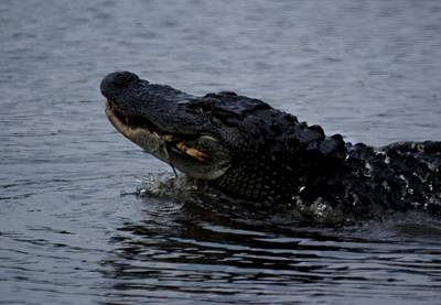 Alligator Eating A Crab Art Print by Bruce W Krucke