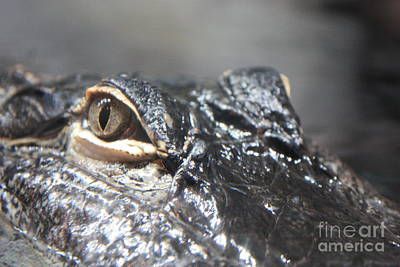 Reptiles Royalty-Free and Rights-Managed Images - Alligator Eye by Carol Groenen