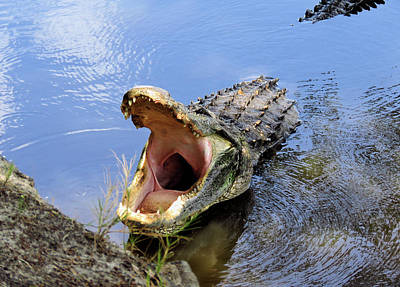 Photograph - Alligator Growl by Rosalie Scanlon
