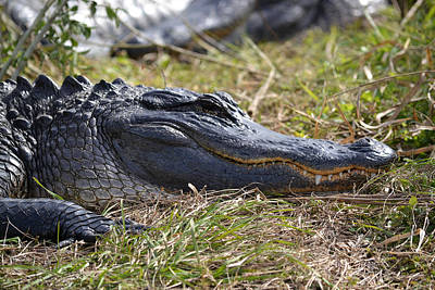 Photograph - Alligator Head - Close Up And Toothy by RD Erickson