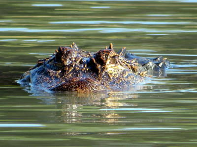 Photograph - Alligator Heading At You 11 20117 by Mark Lemmon