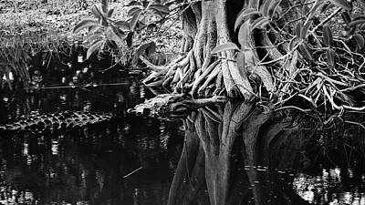 Photograph - Alligator In Roots Delray Beach, Florida by Lawrence S Richardson Jr