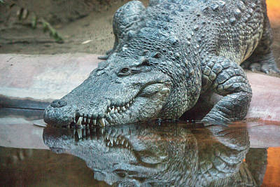 Reptiles Photos - Alligator by Iris Richardson