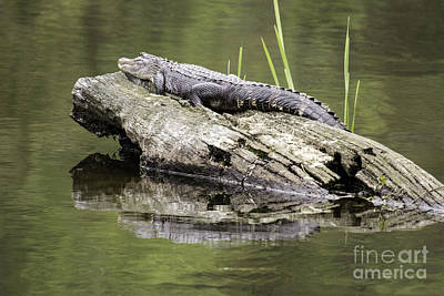 Photograph - Alligator Laying A Log by Jeannette Hunt