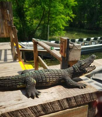 Photograph - Alligator by Mary Capriole