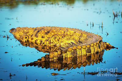 Reptiles Royalty-Free and Rights-Managed Images - Alligator on Chobe River by Tim Hester