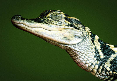Photograph - Alligator On Green by Jean Noren