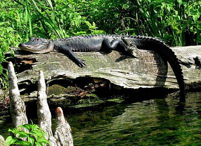 Alligator On Log II Art Print