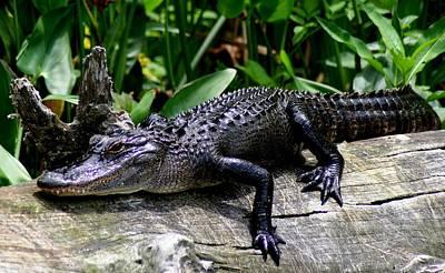 Alligator On Log Art Print