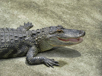 Photograph - Alligator by Pamela Walton