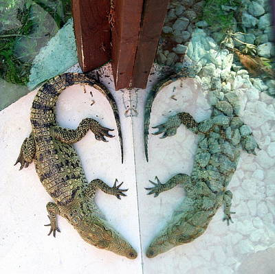 Photograph - Alligator Reflection by Laurel Talabere