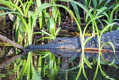 Photograph - Alligator Reflection by Paul Schultz