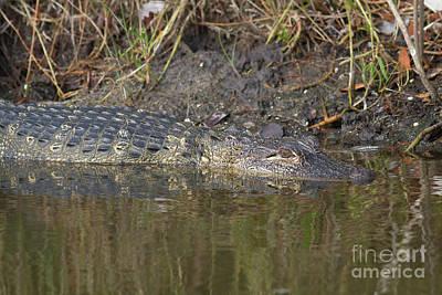 Aquatic Life Photograph - Alligator Reflections by David Cutts