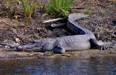 Alligator Resting Art Print
