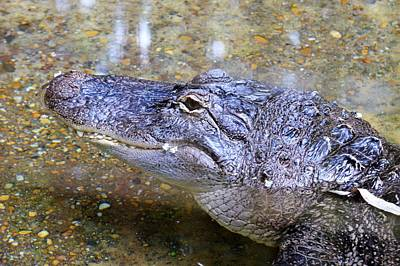 Photograph - Alligator Smiles by Kim Bemis