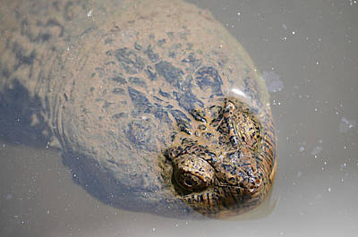 Ally Photograph - Alligator Snapping Turtle by Ally  White