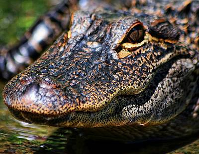 Photograph - Alligator Super  Close Up by Sheri McLeroy