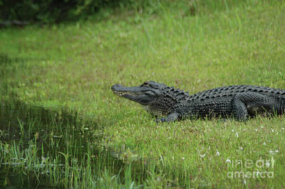 Photograph - Alligator Surveying His Kingdom by Dale Powell