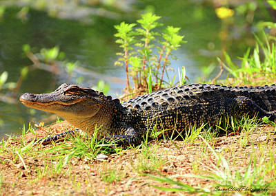 Photograph - Alligator by Susan Cliett