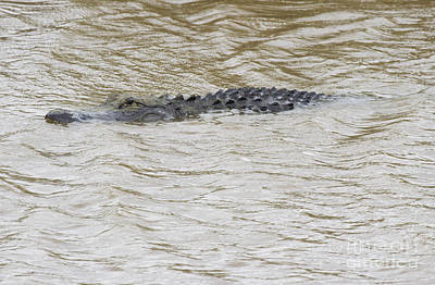 Photograph - Alligator by Jeannette Hunt