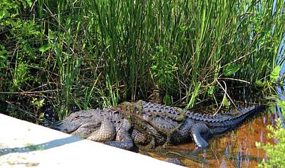 Photograph - Alligator Tangled Up by Cynthia Guinn