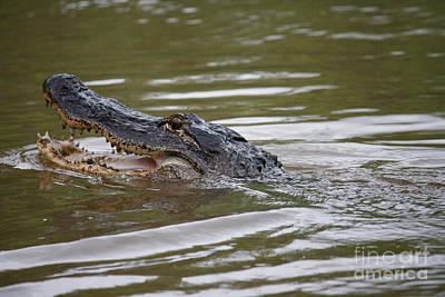 Photograph - Alligator by Wilko Van de Kamp