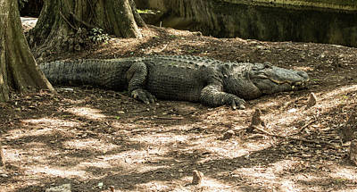Photograph - Alligator Lowry Park Zoo 2 by Richard Goldman