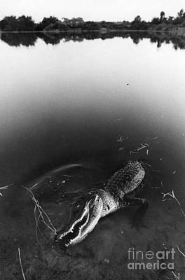 Alligator1 Art Print by Jim Wright