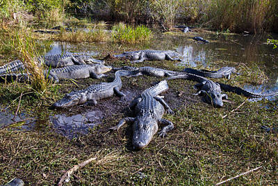 Photograph - Alligators 280 by Michael Fryd