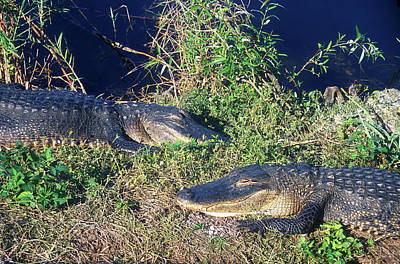 Photograph - Alligators At East by John Burk
