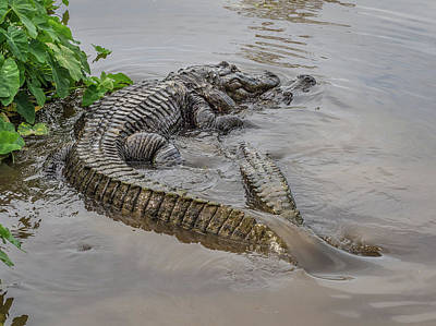 Photograph - Alligators Courting by Steve Zimic