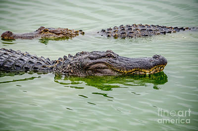 Photograph - Alligators by Debra Martz