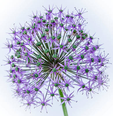 Photograph - Allium   1 by Susan  McMenamin