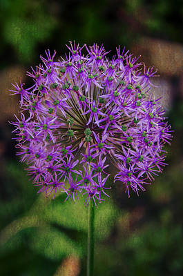 Photograph - Allium    2 by Susan  McMenamin