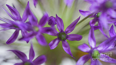 Photograph - Allium Aflatunense by Giovanni Malfitano