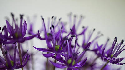 Photograph - Allium Aflatunense Sideview by Giovanni Malfitano