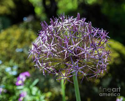 Photograph - Allium Albopilosum Cristophii by Compuinfoto