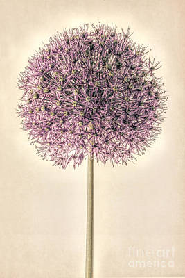 Macro Digital Art - Allium Alone by John Edwards