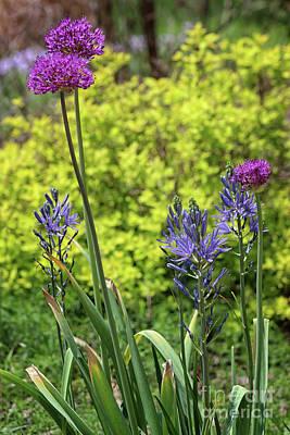 Photograph - Allium And Camassia by Karen Adams