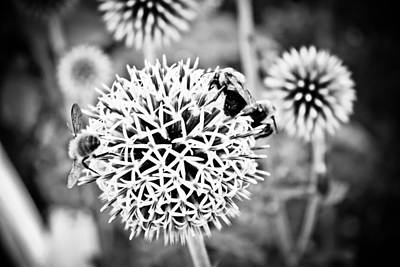 Photograph - Allium - Black And White by Colleen Kammerer