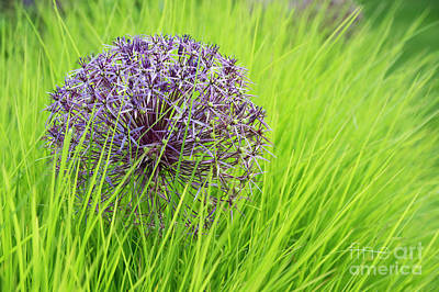 Allium Christopher In Long Grass Art Print by Tim Gainey