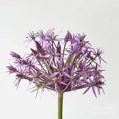 Allium Christophii Star Of Persia Art Print