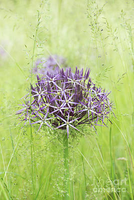 Photograph - Allium Christophii by Tim Gainey